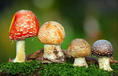 pilzvergiftung durch champignons